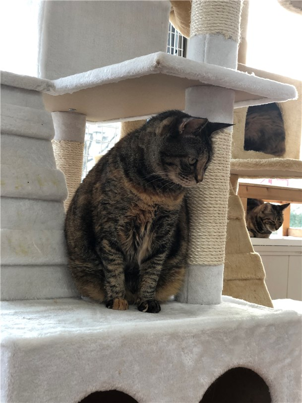 成猫ルームのデブキジトラ