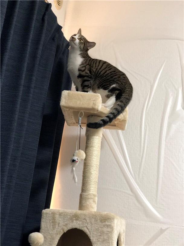 キャットタワーに登るロイドくん